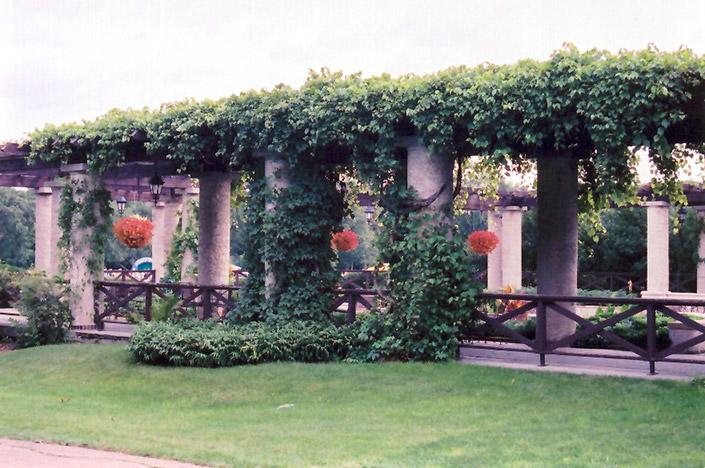 Virginia Creeper Parthenocissus Quinquefolia In Winnipeg