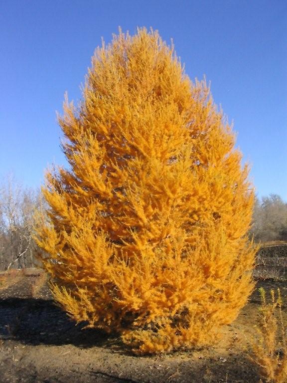 Oasis Siberian Larch (Larix sibirica 'Durcarl') in ...