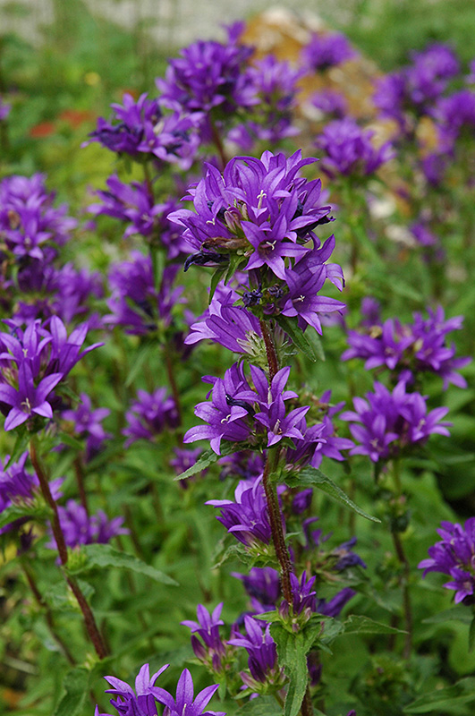 Clustered Bellflower Campanula Glomerata In Winnipeg