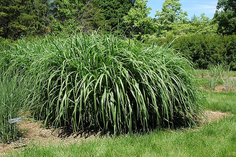 Blondo maiden grass miscanthus sinensis 39 blondo 39 in for Maiden grass