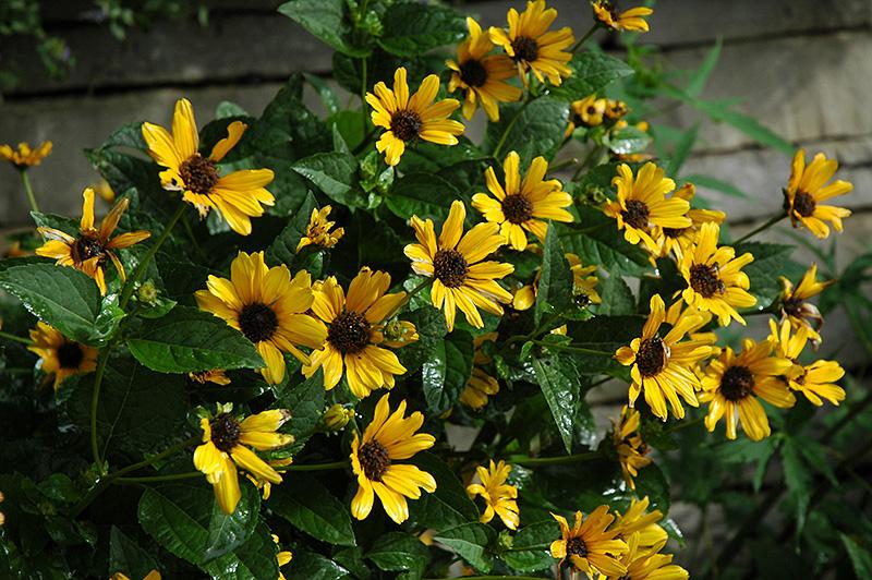 Karat false sunflower heliopsis helianthoides karat at shelmerdine