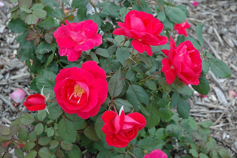 Winnipeg Parks Rose Care