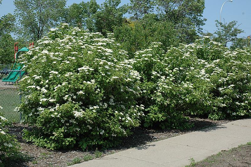 Highbush Cranberry Viburnum Trilobum In Winnipeg