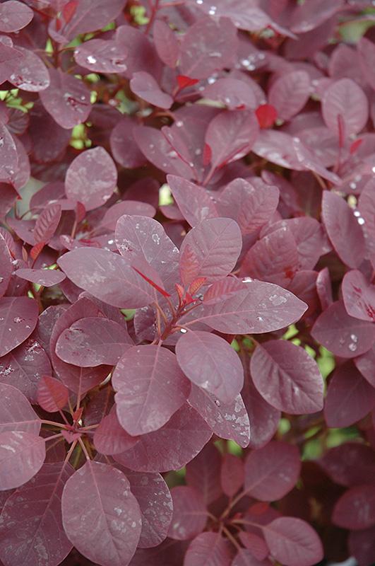 Royal Purple Smokebush (Cotinus coggygria 'Royal Purple ...