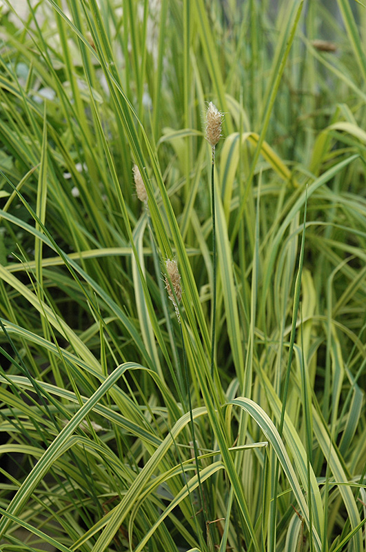Variegated foxtail grass alopecurus pratensis for Variegated grass plant