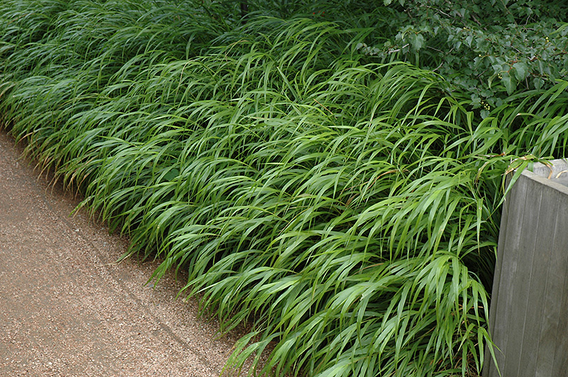 Japanese woodland grass hakonechloa macra in winnipeg for Ornamental japanese grass