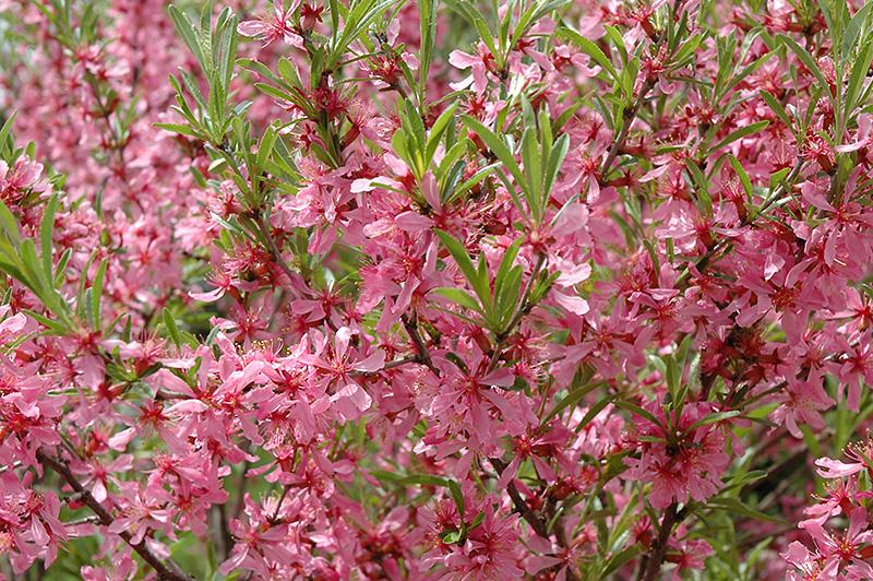 Russian Almond Prunus Tenella In Winnipeg Headingley Oak