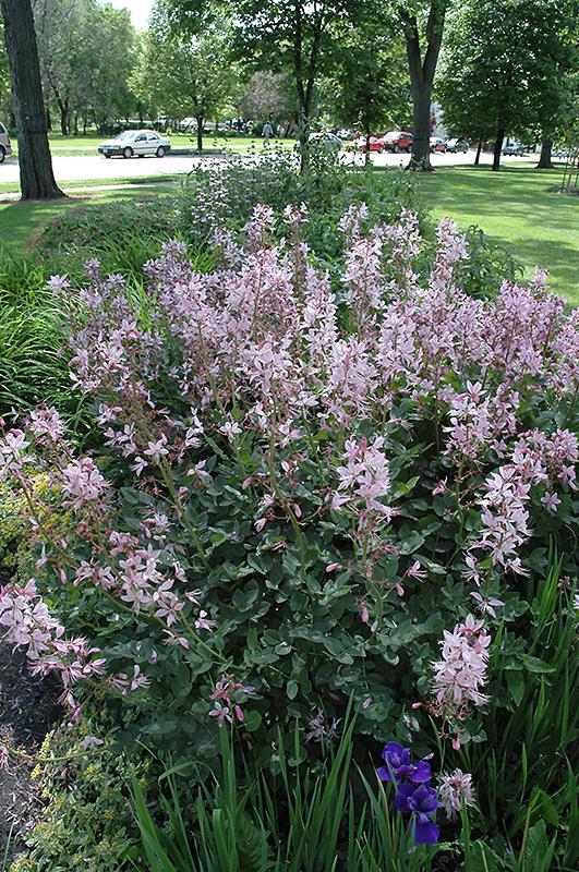 Pink Gas Plant (Dictamnus albus 'var. purpureus') in ...