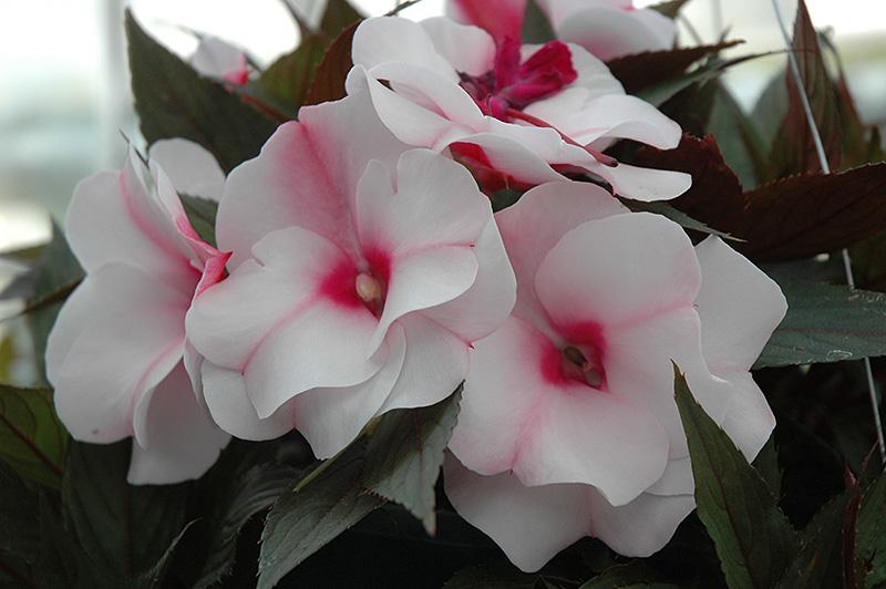 Paradise White Blush New Guinea Impatiens Impatiens