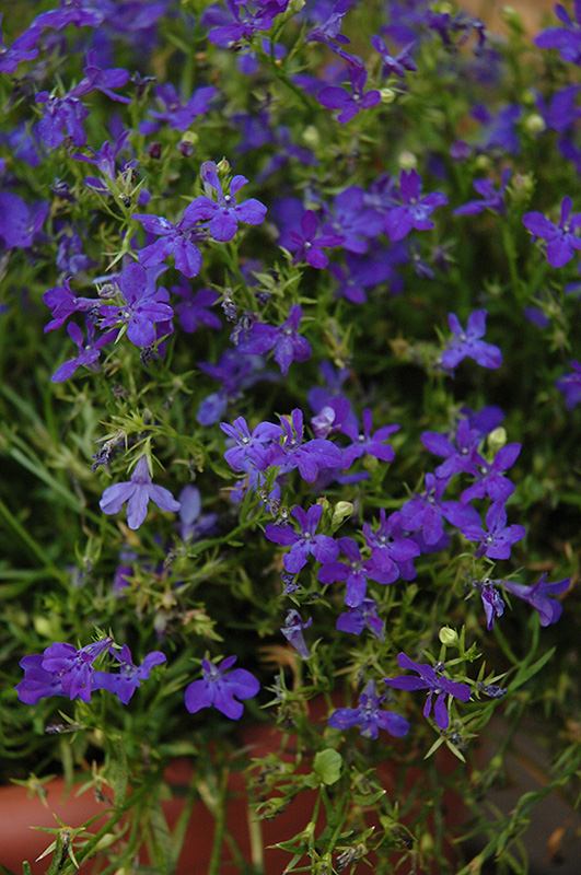 Deep Blue Star Lobelia Lobelia Deep Blue Star In Winnipeg