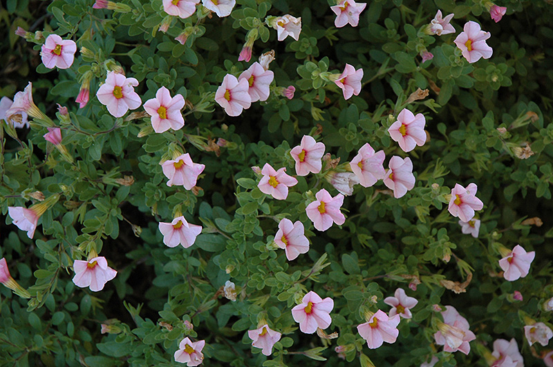 Superbells cherry blossom calibrachoa calibrachoa - Calibrachoa superbells ...