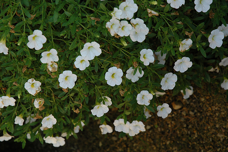 Superbells trailing white calibrachoa calibrachoa superbells superbells trailing white calibrachoa calibrachoa superbells trailing white at shelmerdine garden mightylinksfo
