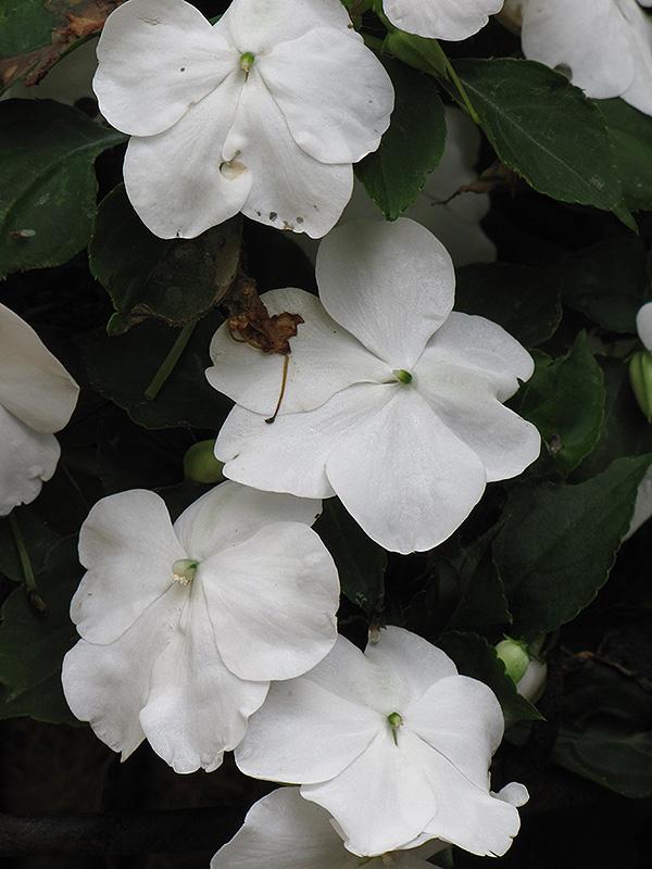 DeZire White Impatiens (Impatiens 'DeZire White') in ... White Impatiens Flowers