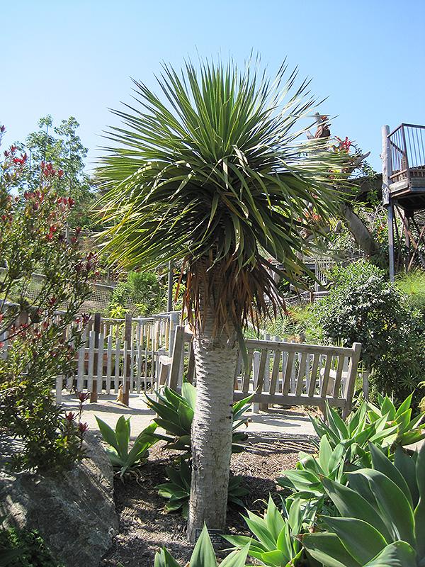 dragon tree dracaena draco in winnipeg headingley oak. Black Bedroom Furniture Sets. Home Design Ideas
