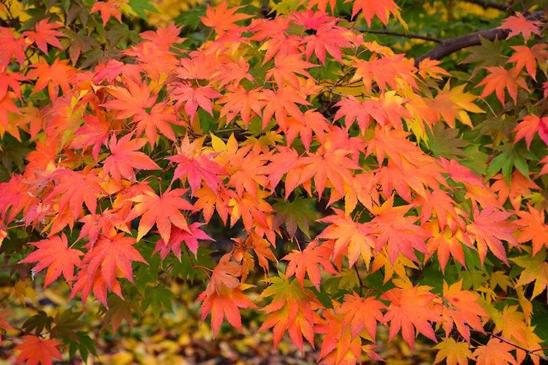 Japanese Maple Acer Palmatum Garden Design Ideas