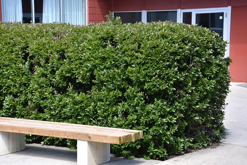 Chalet Nursery And Garden Center: Hedge Cotoneaster (Cotoneaster Lucidus) In Winnipeg