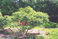 Cutleaf Smooth Sumac (Rhus glabra 'Laciniata') at Shelmerdine Garden Center