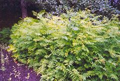 False Spirea (Sorbaria sorbifolia) at Shelmerdine Garden Center
