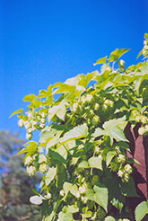 Hops (Humulus lupulus) at Shelmerdine Garden Center