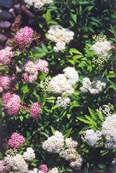 Shirobana Spirea (Spiraea japonica 'Shirobana') at Shelmerdine Garden Center