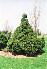 Ohlendorf Spruce (Picea abies 'Ohlendorfii') at Shelmerdine Garden Center
