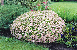 Little Princess Spirea (Spiraea japonica 'Little Princess') at Shelmerdine Garden Center