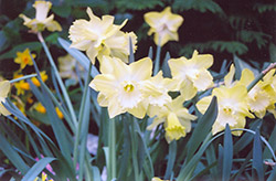 Spellbinder Daffodil (Narcissus 'Spellbinder') at Shelmerdine Garden Center