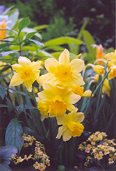 Rejnveld's Early Sensation Daffodil (Narcissus 'Rejnveld's Early Sensation') at Shelmerdine Garden Center
