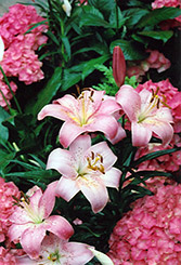Magento Lily (Lilium 'Magento') at Shelmerdine Garden Center