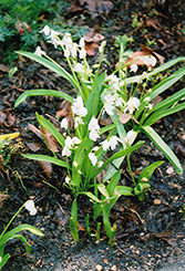 White Spring Squills (Scilla sibirica 'Alba') at Shelmerdine Garden Center