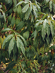Goldspur™ Amur Cherry (Prunus maackii 'Jefspur') at Shelmerdine Garden Center