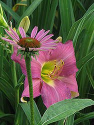 Whimsical Daylily (Hemerocallis 'Whimsical') at Shelmerdine Garden Center