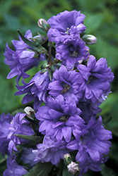 Bernice Bellflower (Campanula trachelium 'Bernice') at Shelmerdine Garden Center