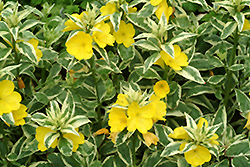 Spring Gold Sundrops (Oenothera tetragona 'Spring Gold') at Shelmerdine Garden Center