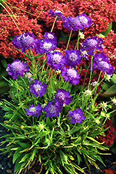 Ultra Violet Pincushion Flower (Scabiosa caucasica 'Ultra Violet') at Shelmerdine Garden Center