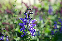 Rhapsody In Blue Meadow Sage (Salvia x superba 'Rhapsody In Blue') at Shelmerdine Garden Center