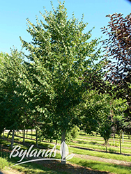 Lone Star Linden (Tilia cordata 'BySkinner') at Shelmerdine Garden Center