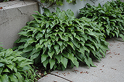 Invincible Hosta (Hosta 'Invincible') at Shelmerdine Garden Center