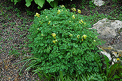 Golden Corydalis (Corydalis lutea) at Shelmerdine Garden Center