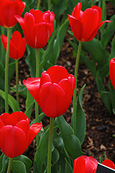 Hollandia Tulip (Tulipa 'Hollandia') at Shelmerdine Garden Center