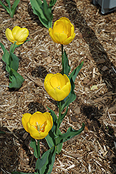 Bellona Tulip (Tulipa 'Bellona') at Shelmerdine Garden Center