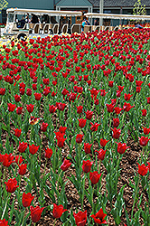 Bastogne Tulip (Tulipa 'Bastogne') at Shelmerdine Garden Center