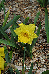 Marieke Daffodil (Narcissus 'Marieke') at Shelmerdine Garden Center