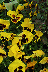 Majestic Giant Yellow Pansy (Viola x wittrockiana 'Majestic Giant Yellow') at Shelmerdine Garden Center