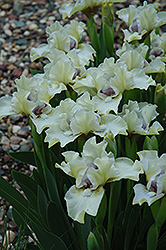 Silk Petals Iris (Iris 'Silk Petals') at Shelmerdine Garden Center