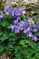 Dwarf Columbine (Aquilegia flabellata 'Nana') at Shelmerdine Garden Center