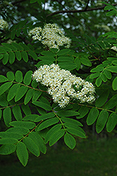 Cardinal Royal Mountain Ash (Sorbus aucuparia 'Cardinal Royal') at Shelmerdine Garden Center