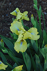 Rita Kinsella Iris (Iris 'Rita Kinsella') at Shelmerdine Garden Center