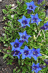 Spring Gentian (Gentiana acaulis) at Shelmerdine Garden Center