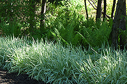 Variegated Ribbon Grass (Phalaris arundinacea 'Picta') at Shelmerdine Garden Center